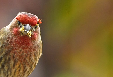 HouseFinch.v2