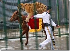 TigerBAR0602_468x342