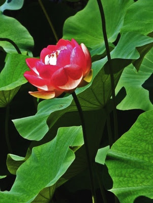 Red sacred water lily