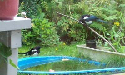 magpies meet at the pool with bread to be had