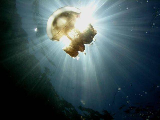 palau 15 Swim among thousands of Jellyfish