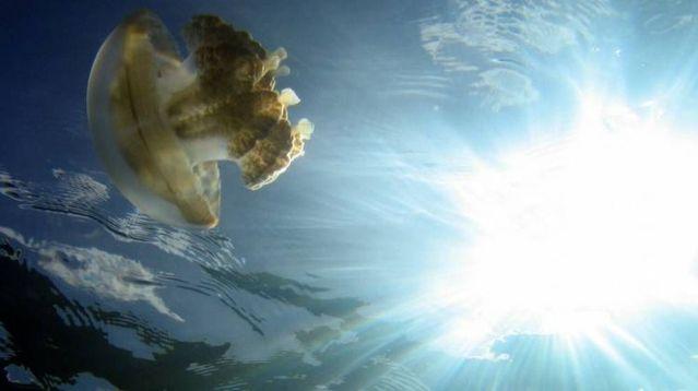 palau 16 Swim among thousands of Jellyfish