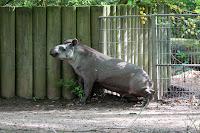 Flachlandttapir
