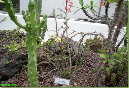 Euphprbie horto botanico roma