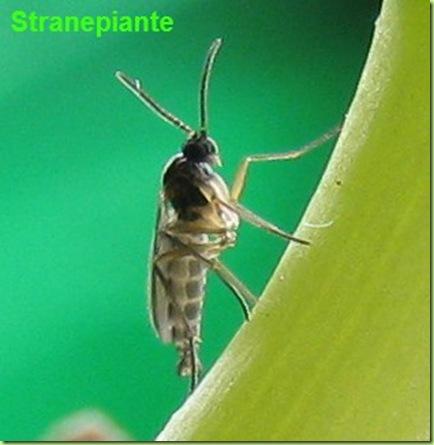 mosca sciara