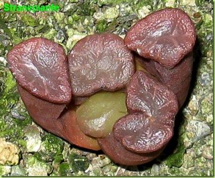 haworthia maughanii rossa