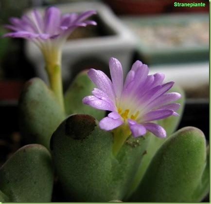 Fiori-Conophytum-chauviniae