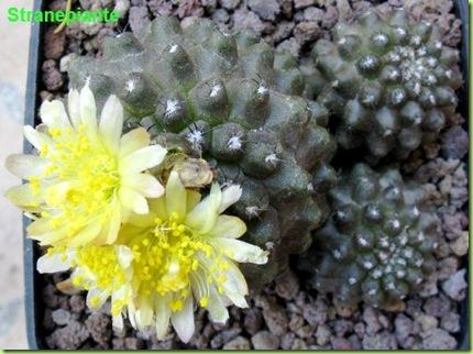 Copiapoa hypogaea var. barquitensis