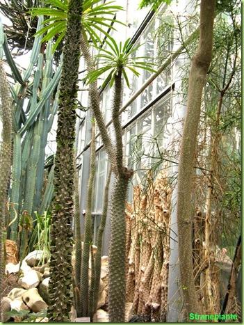 Alluaudia Pachypodium Cereus orto botanico