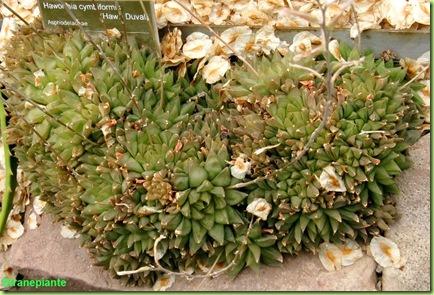 Haworthia cymbiformis amsterdam