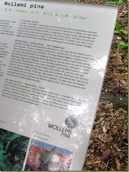 wollemia nobilis pine