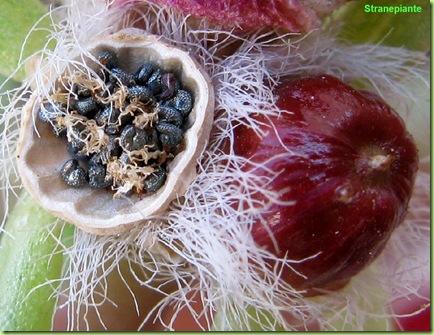 capsule_portulaca_grandiflora_semi