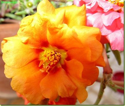 portulaca_grandiflora_fiore_aranciao