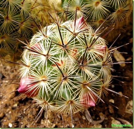 boccioli-rosa-mammillaria-microhelia