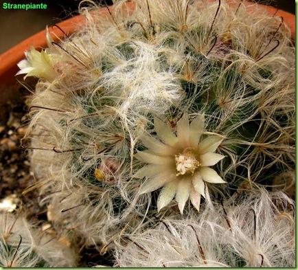 fioritura-mammillaria-boccasana
