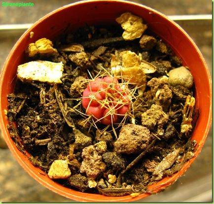 Gymnocalycium damsi piccoletto rosso