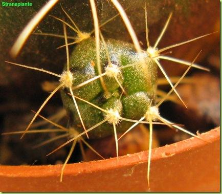 Gymnocalycium damsi pollone