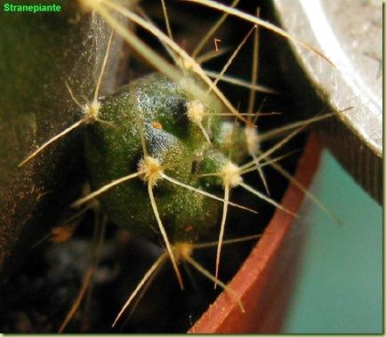 Gymnocalycium damsi pollone del polloncino