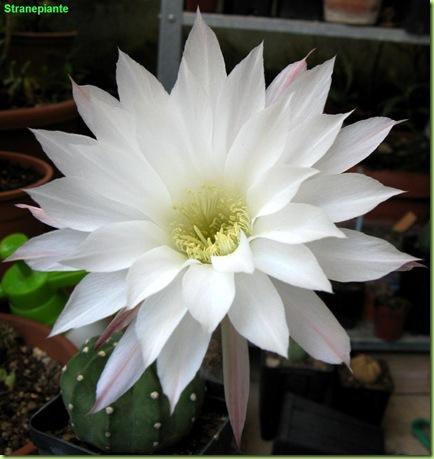 Echinopsis_subdenudata_fiore_bianco