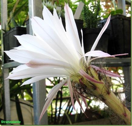 foto-fiore-echinopsis
