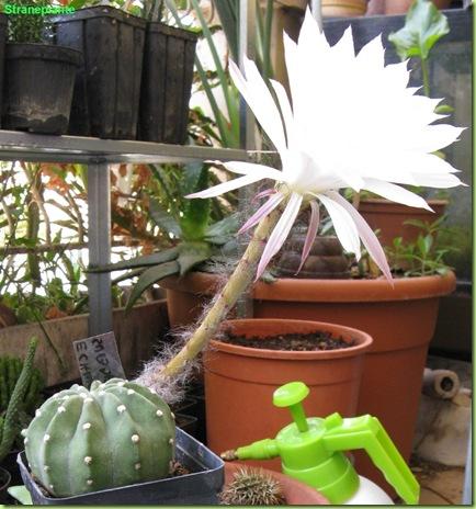 Echinopsis_subdenudata_con-fiore