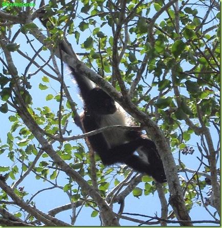 scimmie_ragno