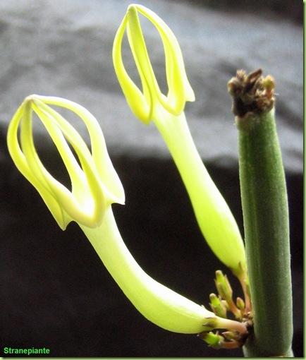 foto fiori Ceropegia dichotoma