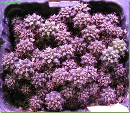 18 giugno 2009 Gymnocalycium semina