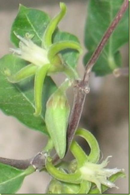 fockea-edulis-fiore