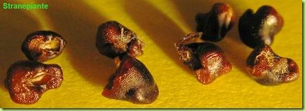 astrophytum-caput-meduse-seeds