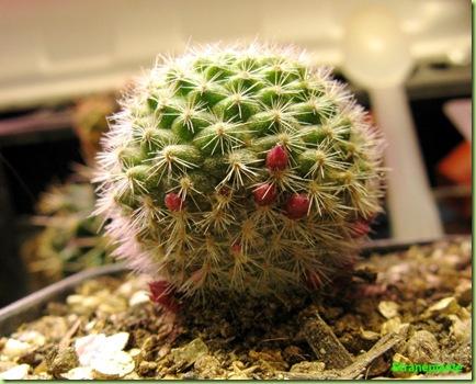 rebutia minuscula fioritura da seme