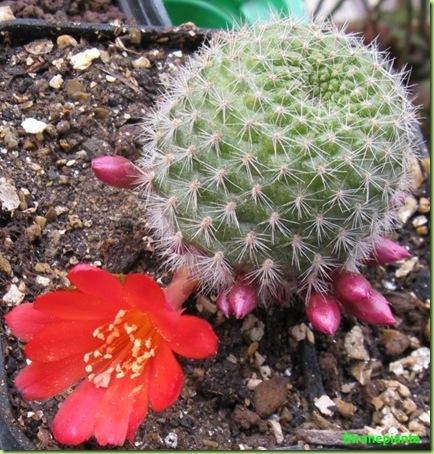 rebutia da seme in fiore aprile 2010