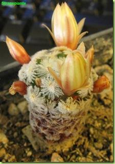 mammillaria crinita sottospecie duweii fiori