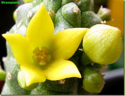 Echidnopsis cereiformis fiore giallo