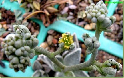 Lenophyllum guttatum infiorescenza