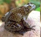 Bullfrog Goa