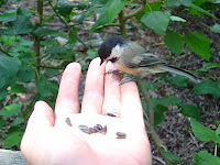 At Elizabeth Morton NWR in Sag Harbor: Black-capped Chickadee eating from Bob's hand