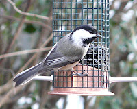 Black-capped Chickadee on the black-oil sunflower seed tube feeder