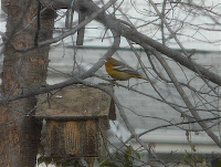 Ariel the Oriole in the yard again on 1/22/10. She finally reappeared after a couple weeks - last seen on 1/4/10.