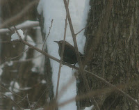 New pair of Rusty Blackbirds in yard 2/27/10. These were much browner than yesterday's bird.