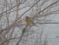 Happy New Year: Baltimore Oriole in yard on New Year's Day, 2010, around 3 pm.