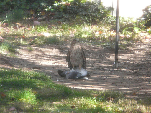 Cooper's Hawk lands on an unfortunate Pigeon in the yard, Nov. 7, 2010