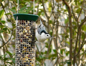 White-breasted Nuthatch with nut! Nov. 14, 2010 in the yard