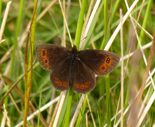 scotch argus