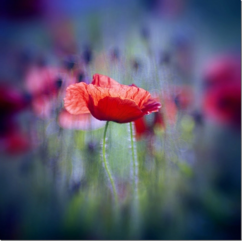 Red Poppy by Gregor72