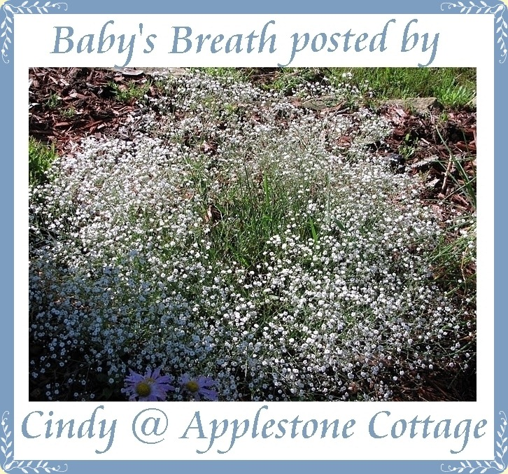 baby's breath-applstn ctg