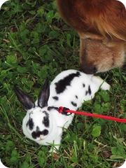 bunnies & tractor pulls 002