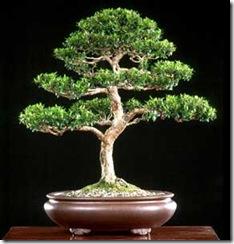 myrtus-communis-bonsai