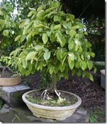 carpinus-betulus-carpe blanco