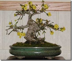 jasminum-nudiflorum-bonsai